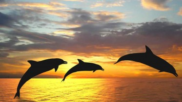 dolphins_3_sunset