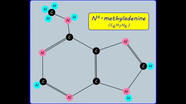 n6-methyladenine_ar
